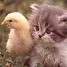 gatito con un pollito